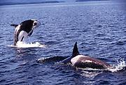 Alaska. Southeast. Frederick Sound. Orca / Killer Whale (Grampus orca) breaching.