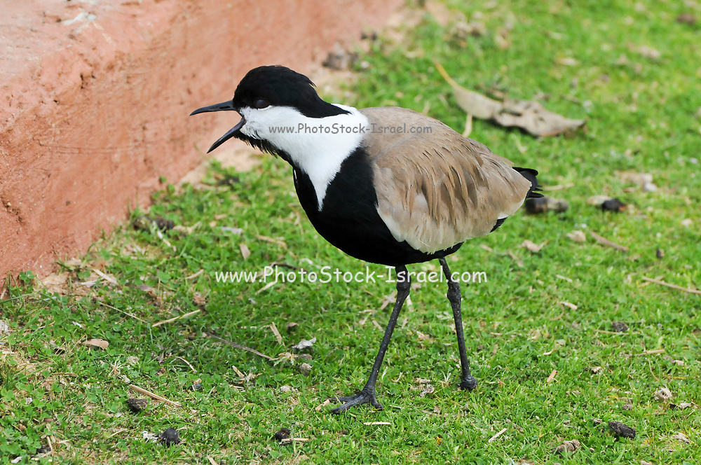Spur-winged plover (or lapwing, Vanellus spinosus). This bird inhabits wetlands and coastal areas in northern Africa and the eastern Mediterranean region. It feeds on small invertebrates. Photographed in Israel, in February