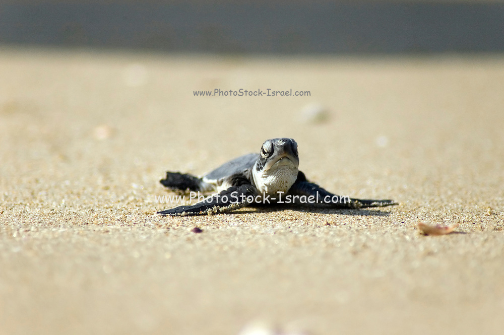 Israel, Maagan Michael beach, Chelonia mydas, green turtle after hatching on their first voyage to the Mediterranean Sea September 2007