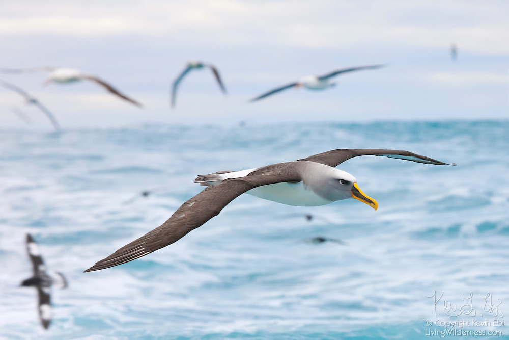 A Buller's Mollymawk (Thalassarche bulleri), a type of albatross, flies over the Pacific Ocean off the coast of Kaikoura, New Zealand. The seabird feeds on squid, fish, tunicates, octopus, and crustacea.