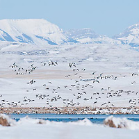 sping snow geese and pintails in front of rocky mountains  freezeout lake montana