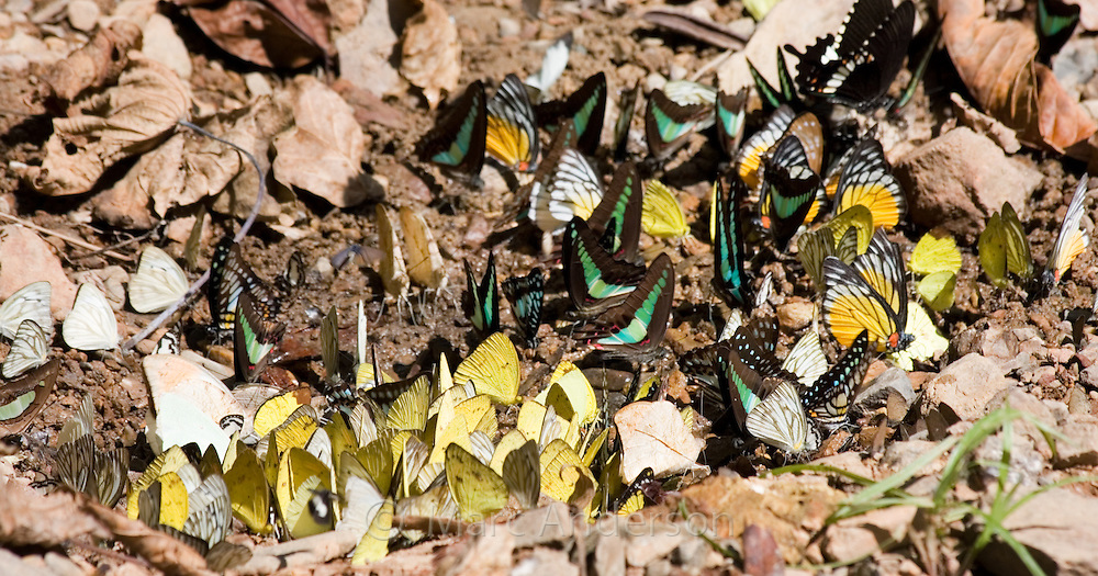 Large mixed species group of butterflies feeding on the ground, Kaeng Krachan National Park, Thailand