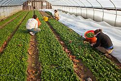 Spinach harvest, Stratham, New Hampshire. Heron Pond Farm greenhouse.  January.