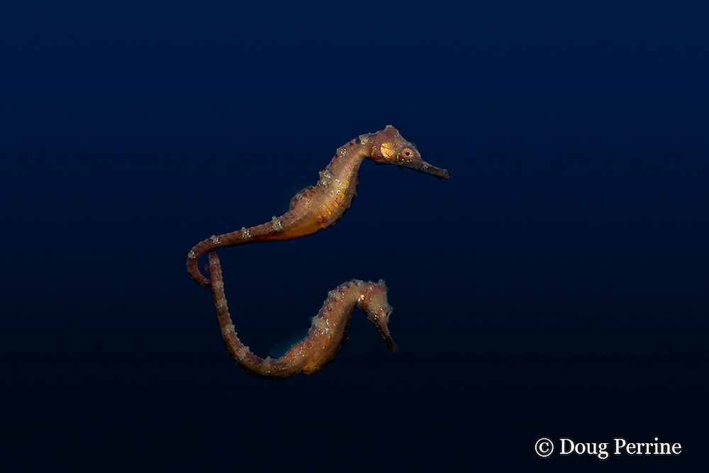 Fisher's seahorse or pelagic seahorse or sea horse, Hippocampus fisheri , Kona, Hawaii  - occur in open ocean off Hawaii, in deep water - rise to surface waters at night