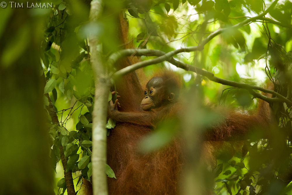 Adult female Walimah with one month old infant.<br />