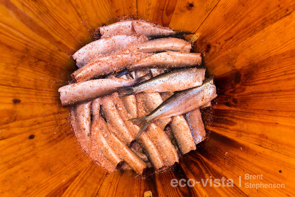 Salted Atlantic herring (Clupea harengus) inside a wooden barrel. This is part of the 'Herring show' which relives the herring fishery era. This town was a major Herring port in 1940s and 1950s, and now has an impressive collection of Museums (The Herring Era Museum) depicting this era. Siglufjordur, Iceland. July.