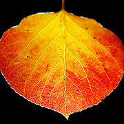 SHOT 9/25/2007 - Photos of a backlit aspen leaf that has turned yellow and red as the fall foliage season comes to a peak in Colorado. The aspen trees were located in the Arapaho National Forest along Highway 103, also known as the Mount Evans Highway, near Idaho Springs, Co. Populus tremuloides, the Quaking Aspen or Trembling Aspen, is a deciduous tree native to cooler areas of North America and is generally found at 5,000-12,000 feet. The name references the quaking or trembling of the leaves that occurs in even a slight breeze due to the flattened petioles. It propagates itself by both seed and root sprouts, and extensive clonal colonies are common. Each colony is its own clone, and all trees in the clone have identical characteristics and share a root structure..(Photo by Marc Piscotty/ © 2007)