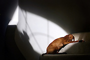 """(ALBUQUERQUE, N.M., SHOT 12/24/2004).Photos of Tanner sleeping in the sun on the steps of my parents house in  in Albuquerque, N.M.. The Vizsla, as described in the American Kennel Club (AKC) standard, is a medium-sized short-coated hunting dog of distinguished appearance and bearing. Robust but rather lightly built; the coat is a golden-rust color. The coat could also be described as a copper/brown color. They are lean dogs, and have defined muscles, and are similar to a Weimaraner. Vizslas are lively, gentle-mannered, loyal, caring and highly affectionate. They quickly form close bonds with their owners, including children. Often they are referred to as """"velcro"""" dogs because of their loyalty and affection. They are quiet dogs, only barking if necessary or provoked. They are natural hunters with an excellent ability to take training (American Breed Standard, AKC). Not only are they great pointers, but they are excellent retrievers as well..(Photo by MARC PISCOTTY / © 2004)"""