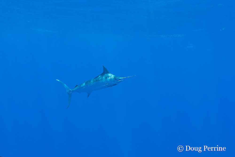 free-swimming blue marlin, Makaira nigricans, with remoras or sharksuckers attached under chin, Vava'u, Kingdom of Tonga, South Pacific