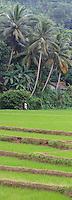 Rice Paddies in Sri Lanka