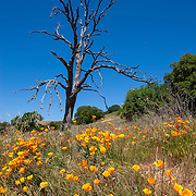 California poppies (Eschscholzia californica) grow around the base of a snag in Mount Diablo State Park near Clayton, California.