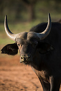 Buffalo calf<br /> Exotic Game Breeders / Eden Farm<br /> Limpopo Province<br /> South Africa