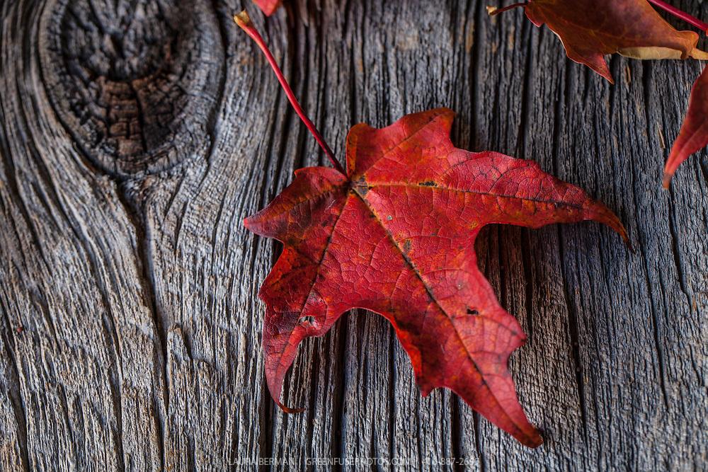 Brilliant red Sugar Maple leaves on barn board background.