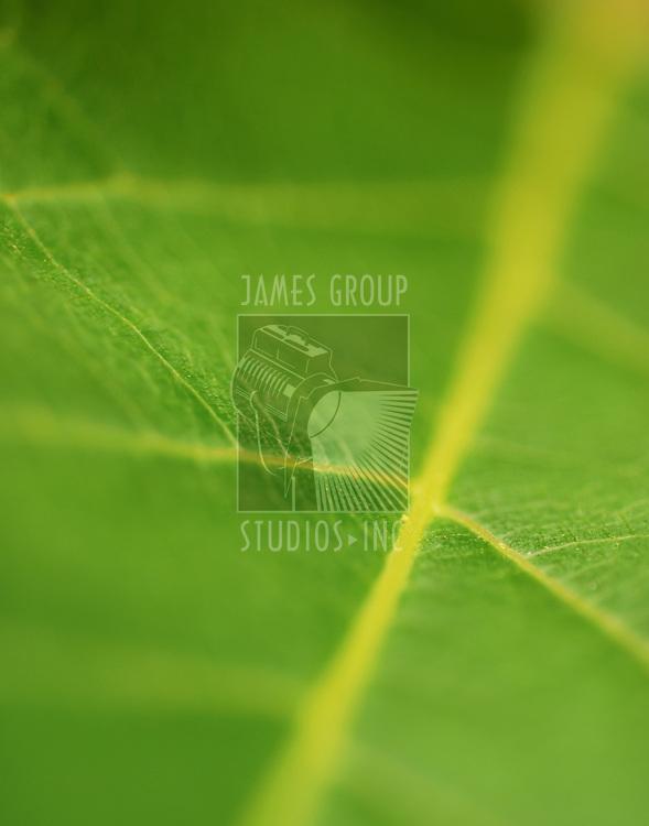 A macro depth of field background of a fresh green leaf.