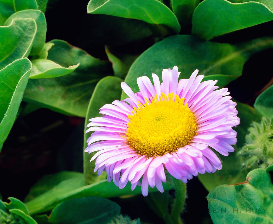 0603-6002 ~ Copyright:  George H. H. Huey ~ Seaside daisy [Erigeron glaucus].  San Miguel Island.  Channel Islands National Park, California.