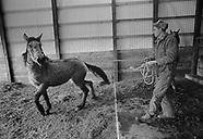 Wild Mustang Adoption