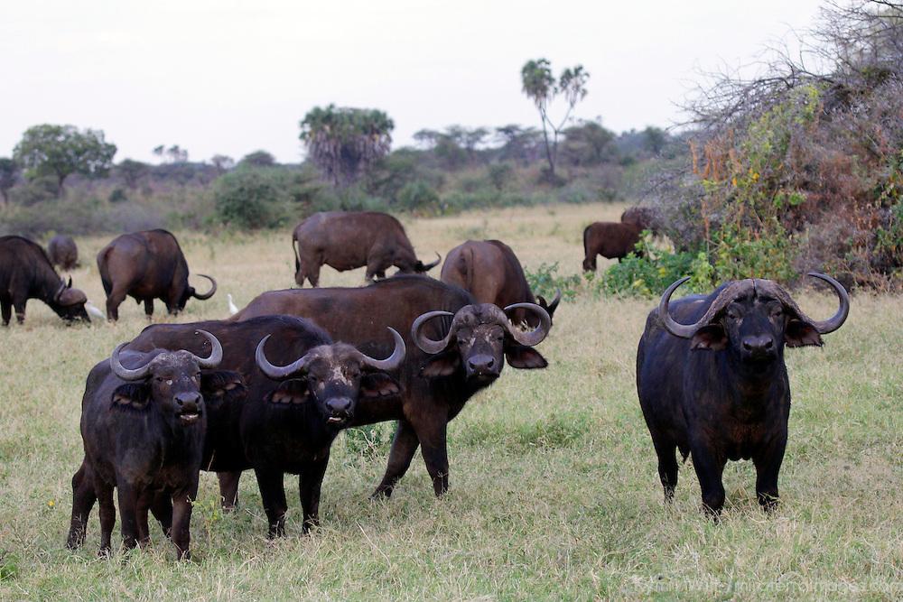 Africa, Kenya, Meru. Buffalo of Meru National Park.