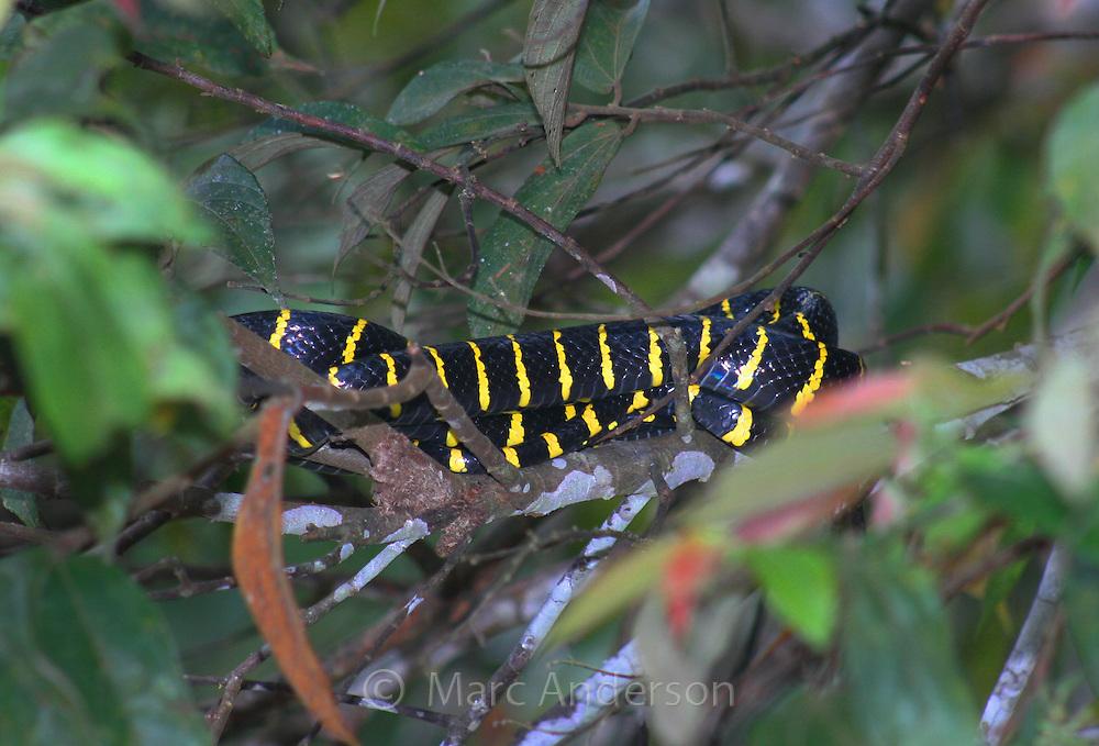Mangrove Snake, Boiga dendrophila resting in a mangrove tree, Kinabatangan River, Sabah, Malaysia