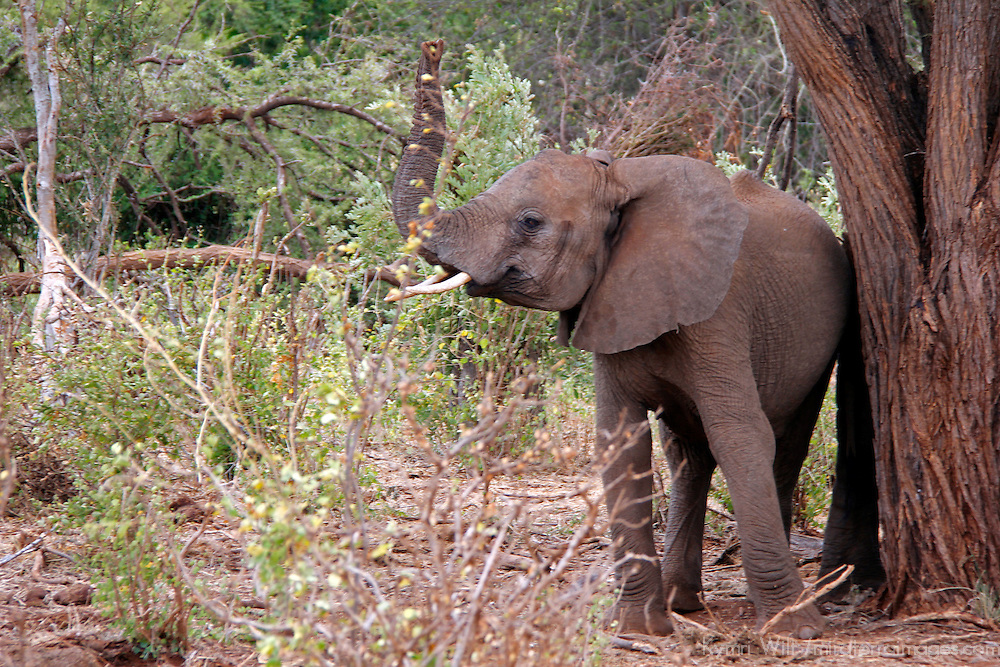 Africa, Kenya, Meru. Young Elephant with raised trunk.