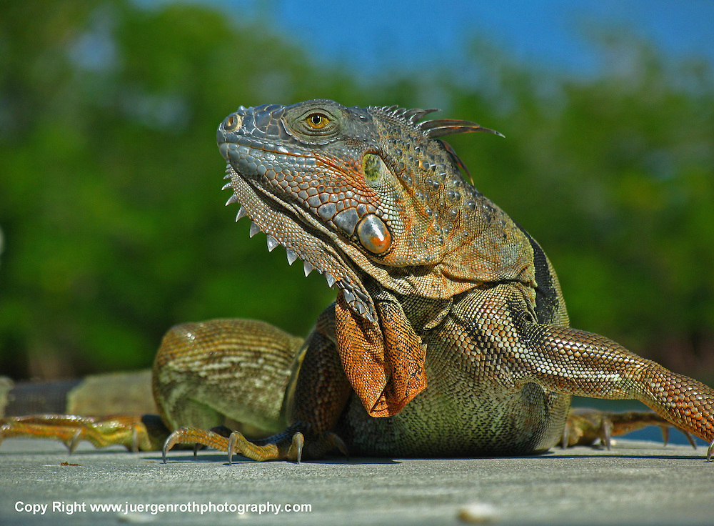 Iguana reptile photography in its natural Florida habitat at John Pennekamp Coral Reef State Park near Key Largo.<br />