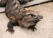 Iguana sunning itself in the Mexican sun.