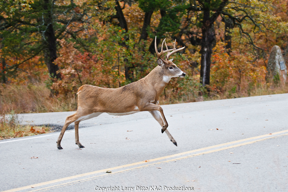 white-tailed deer (Odocoileus virginianus) buck crossing road in autumn woods