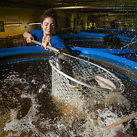 Leandra Forman scoops out tilapia which will go to Smithtown Seafood for dishes to be made later in the day in Lexington, Ky., Friday, December 11, 2015. The Bread Box houses a number of businesses, including West Sixth Brewing and FoodChain, which grows the tilapia. Waste from fish grown in tanks is used to feed greens and the filtered water is looped back into the fish tanks. The fish and greens are sold and used at Smithton Seafood located in the same building, an old Rainbo Bread factory. (Photo by David Stephenson)