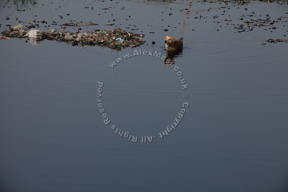 A stray dog is crossing the heavily polluted and semi-dry Yamuna River next to the Taj Mahal, in Agra.
