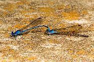 Springwater Dancer (Argia plana) pair in tandem<br /> TEXAS: Travis Co.<br /> Jester Wild Drive; Austin<br /> 12-May-2012<br /> J.C. Abbott &amp; K.K. Abbott