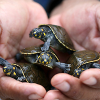 A park ranger holds baby Yellow Spotted Amazon River Turtles (Podocnemis Unifilus)