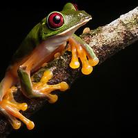 gliding treefrog, Agalychnis spurrelli from the Osa Peninsula, Costa Rica