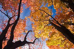 Saint Anne de Beaupre, QC, Canada  Arvore alaranjada no outono / Colorful fall tree