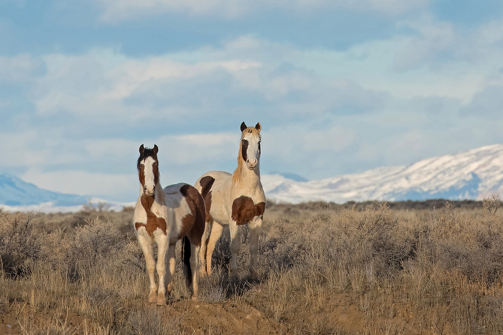 Both sired by the stallion, Tecumseh, these two young colts make their home at the McCullough Peaks Herd Management Area. Rebel, on the left and his older brother, Tonkawa, on the right are currently in a bachelor band with their father who keeps a close eye on his two boys.