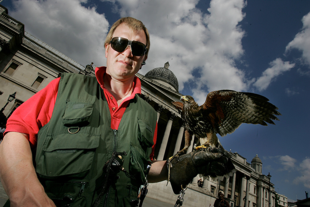 """MArk Bigwood, 42 from NBC bird solutions is the trainer and handler for """"Arrow"""" an 18 month old Harris Hawk (known as Bay Hawk in USA). Mark was brought in to reduce the pigeon menace in Trafalgar Square, London, England. Pigeons plague the square because of the high numbers of tourists who feed the birds. Pigeons produce enormous amounts of foul smelling dung that makes the square slippery under foot. 7 days a week Arrow or one of 10 other birds, swoops amongst the pigeons and frightens them away it has reduced pigeon numbers dramatically in the last 3 years."""