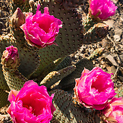 Pink prickly pear cactus flowers (Opuntia genus in the cactus family, Cactaceae) bloom at Callville Bay, in Lake Mead National Recreation Area, Nevada, USA. Like all true cactus species, prickly pears are native only to the Western hemisphere; however, they have been introduced elsewhere on earth. Formation of Lake Mead began in 1935, less than a year before Hoover Dam was completed along the Colorado River. The area surrounding Lake Mead was established as the Boulder Dam Recreation Area in 1936. In 1964, the area was expanded and became the first National Recreation Area established by US Congress. Three desert ecosystems meet in Lake Mead NRA: Mojave Desert, Great Basin Desert, and Sonoran Desert.
