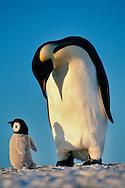 Emperor penguin showing paternal response to puppet, Aptenodytes forsteri, Weddell Sea, Antarctica