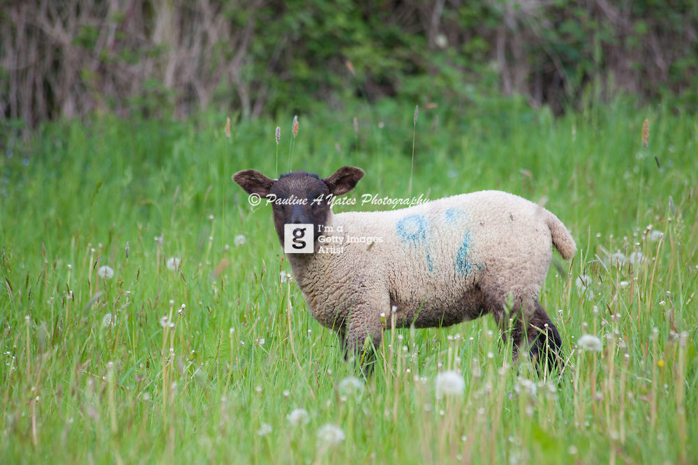 A lamb watches the photographer from the meadow. Iconic image of spring