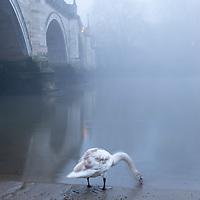 Lone swan at Richmond bridge by the Thames.