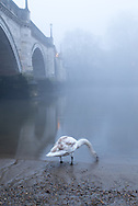 Lone swan at Richmond bridge by the Thames.