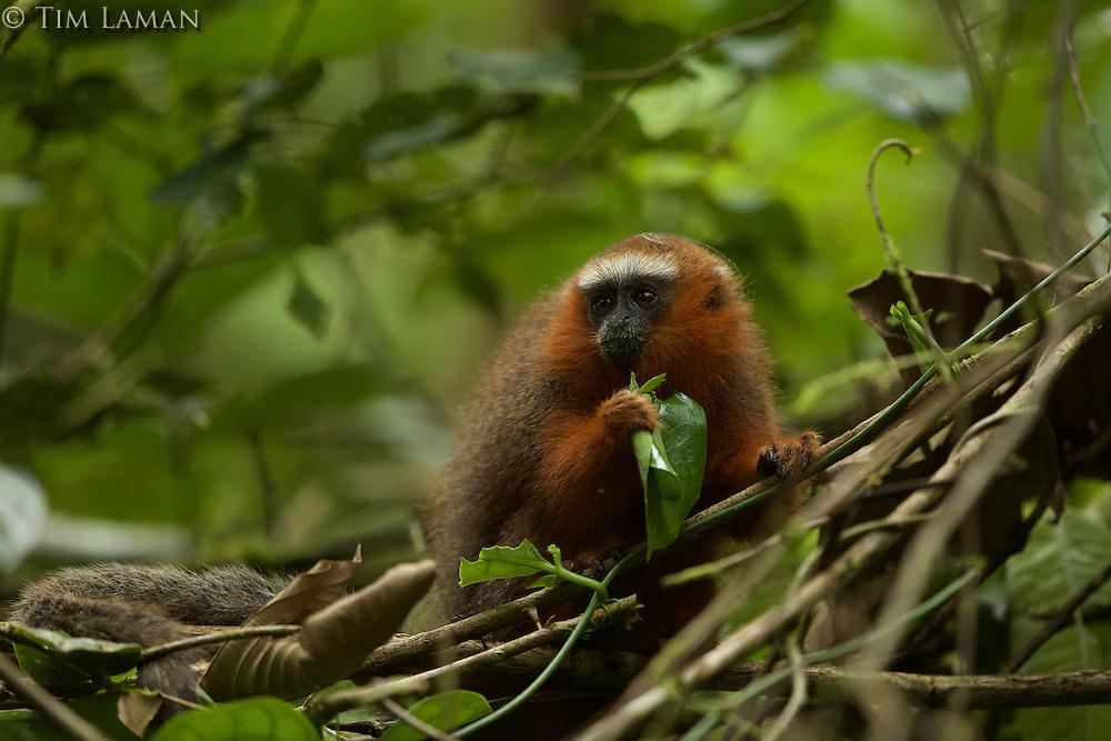 Dusky Titi Monkey (Callicebus discolor) eating leaves at the Tiputini Biodiversity Station, Orellana Province, Ecuador