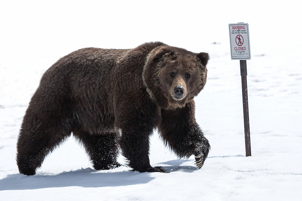 During early spring, many areas within Yellowstone are closed due to bear danger. Bears will frequent these favorite spots year after year in search of early spring forage and winter kill.
