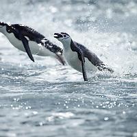 Antarctica, South Shetland Islands, Chinstrap Penguins (Pygoscelis antarcticus) porpoise while swimming toward shore at Bailey Head on Deception Island