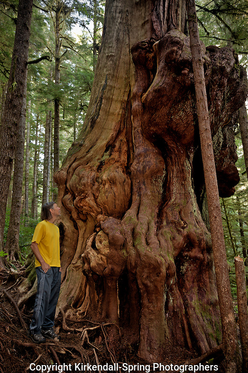 BC00563-00...BRITISH COLUMBIA - Canada's Gnarliest Tree, a huge red cedar, located in the coastal forest north of Port Renfrew at Avatar Grove.