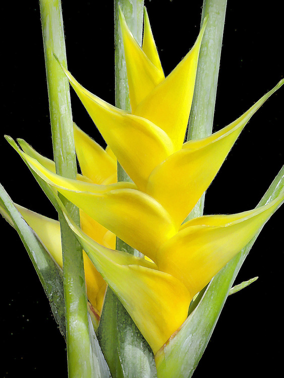 Golden yellow heliconia flower in Hawaii
