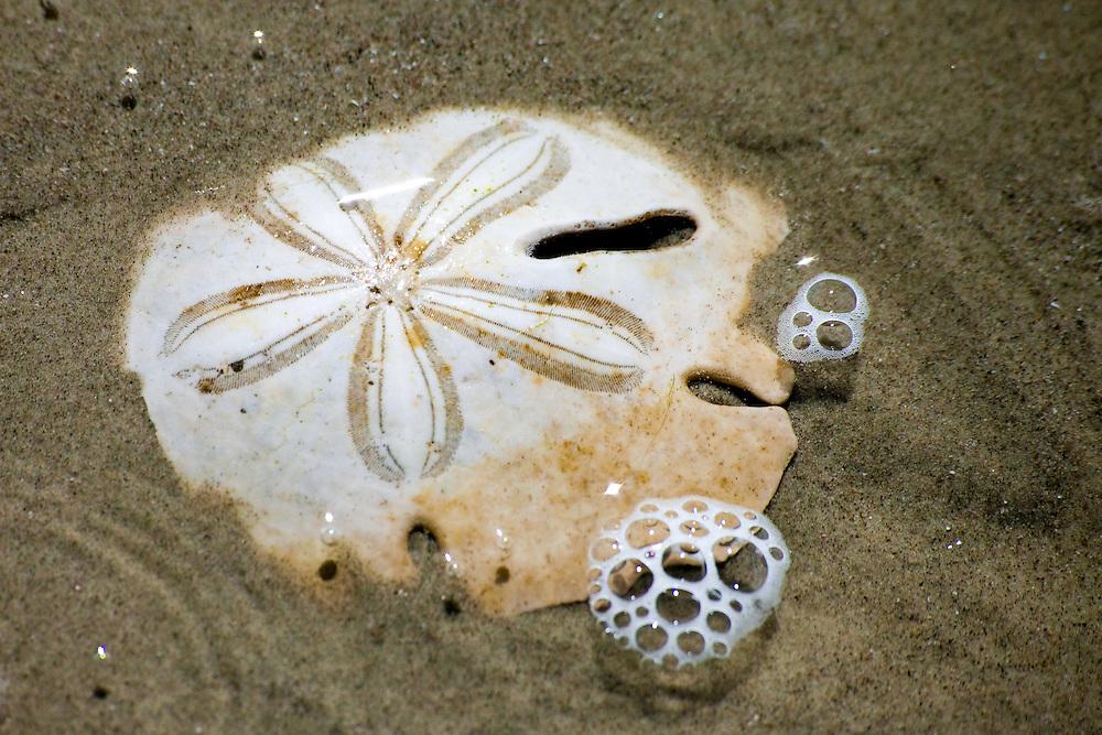 Sand dollar in shallow water on Praia Grande, Ilha do Mel, Brazil, South America