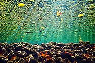 Underwater Scene (Ozark Stream Bed)<br /> <br /> Isaac Szabo/Engbretson Underwater Photography