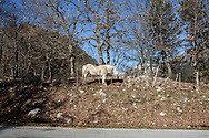 16 February 2017, Civitella Alfedana - A horse inside the National Park of Abruzzo.
