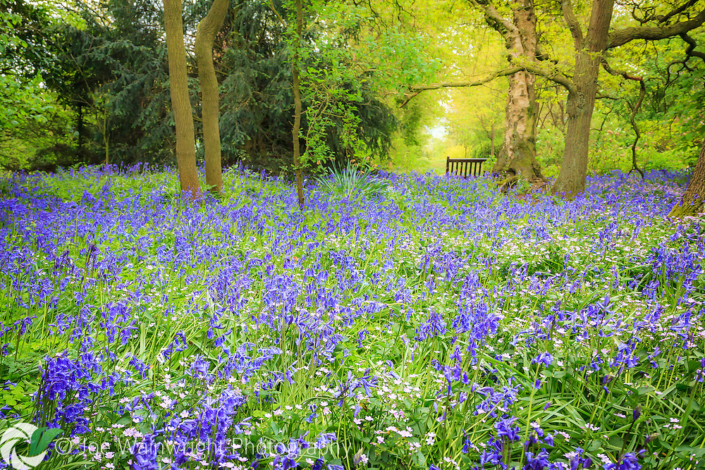 Late spring at Dorothy Clive Gardens, Staffordshire, with bluebells in full flower under the canopy of fresh green foliage.