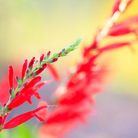 Red blooms on the branches of a flowering plant.