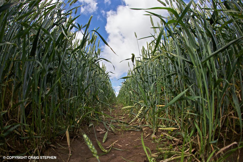 Field of wheat from low down looking along line in field